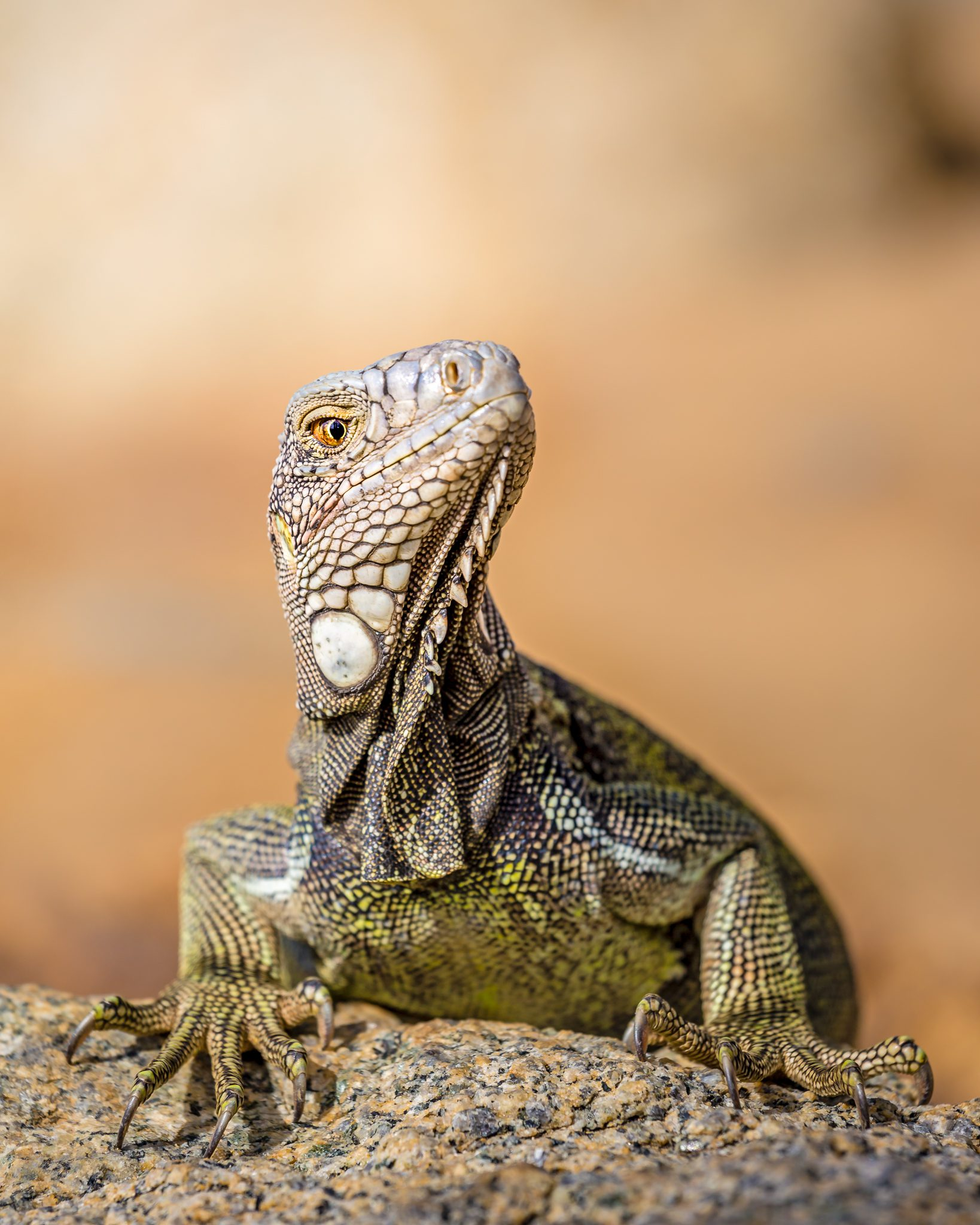 Drogon is searching for the Mother of Dragons. Any GOT fans here?  In reality, this is a close-up photo of the green iguana (Iguana iguana) from Aruba. And although large and intimidating looking lizards, they are mostly herbivorous.